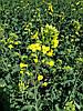 Озимий ріпак під раундап КЛЕОПАТРА РС, Врожайний гібрид ріпаку 40 ц/га стійкого до гліфосату, олії 48,4%.