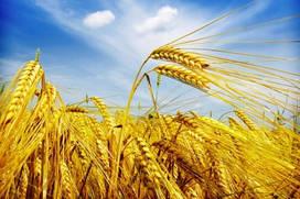 Семена пшеницы озимой Коханка, 282-289 дней, урожайность 6,9-9,2 т/га
