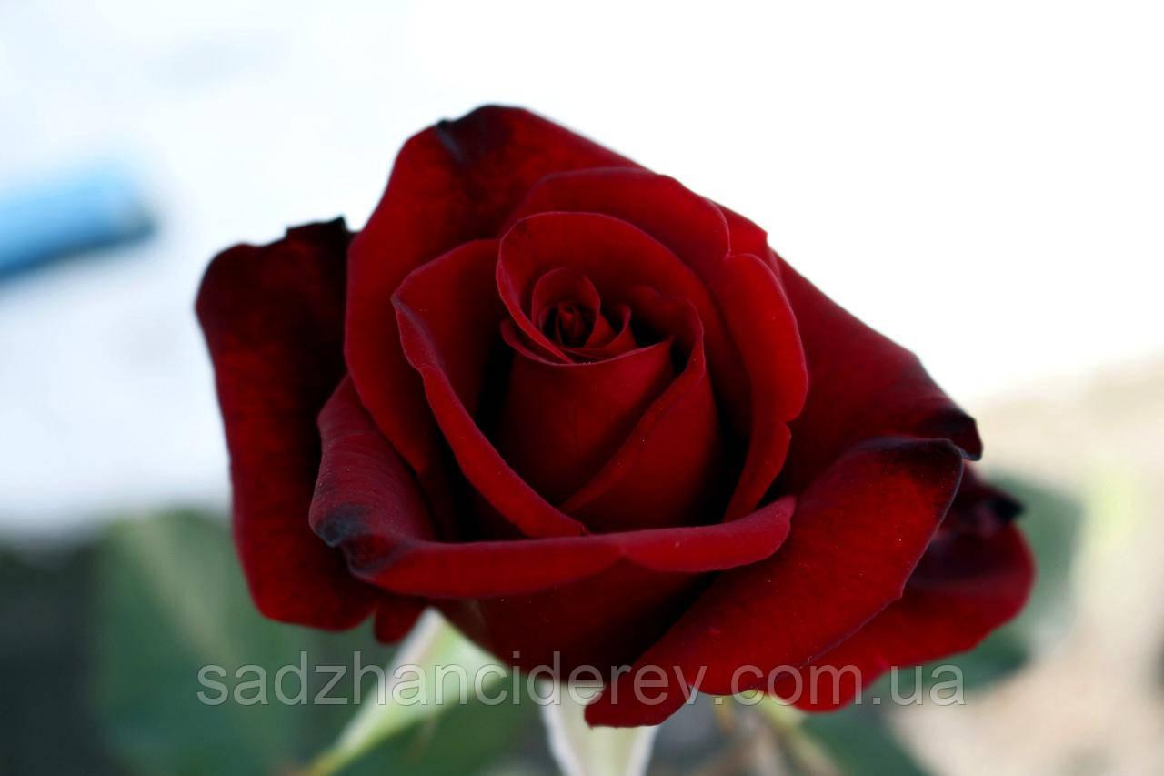 Саджанці троянд Експлорер (Explorer, Эксплорер)