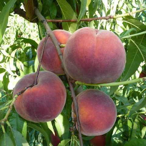 Саженцы Персика Роял Джим - поздний, крупноплодный, урожайный
