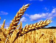 Озимая пшеница Шестопаловка элита