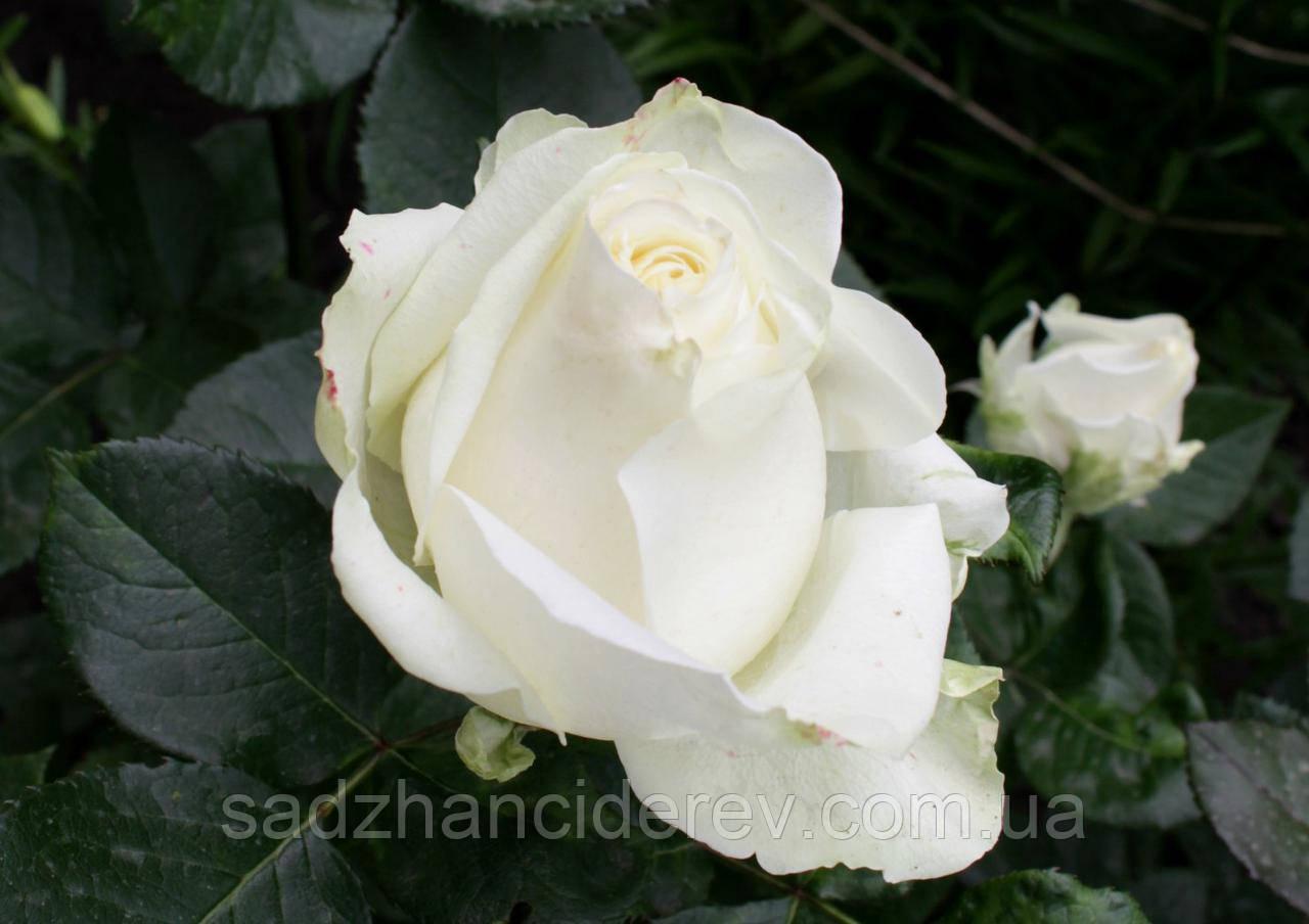 Саджанці троянд  Аваланж (Avalanche)