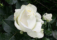 Саджанці троянд  Аваланж (Avalanche), фото 1