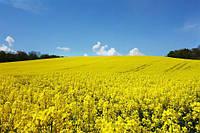5 порад для отримання високих врожаїв озимого ріпаку