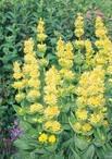 Горечавка желтая лекарственный корень