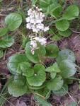 Грушанка круглолистная лекарственные травы