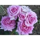 Саженцы розы - спрей Лаванда (Lavanda), фото 2