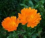 Календула лекарственная цвет
