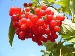 Калина обыкновенная ягоды