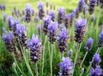 Лаванда узколистная трава