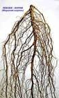 Левзея сафлоровидная корень