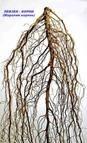 Левзея сафлоровидная корень - Лекарственные травы и сборы оптом и в розницу «Планета трав» в Кропивницком