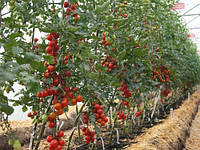 Помідори в теплиці з полікарбонатним покриттям: особливості вирощування хорошої розсади