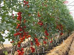Помидоры в теплице с поликарбонатным покрытием: особенности выращивания хорошей рассады