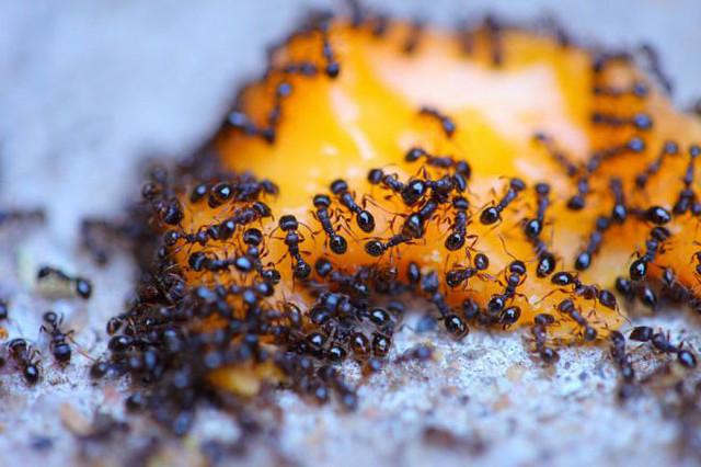 муравьи в теплице беда
