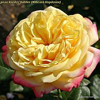 Роза Kordes' Jubilee (Юбилей Кордеса)