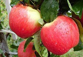 Саженцы яблони ранней Женева Эрли