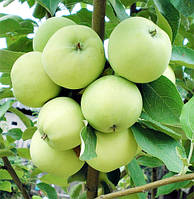 Саженцы яблони ранней Папировка (Белый налив)