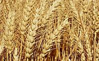 Озимая пшеница Калидон Seed Grain (1 репрод.)