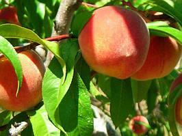 Саженцы персика раннего Чаривнык (Волшебник)