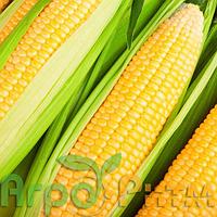 Кукурудза Маніфік Стандарт