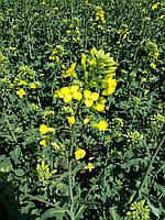 Семена озимого рапса Снежная Королева, Зимостойкий и урожайный рапс 38-40 ц/га, олии 46,4%, 300-305 дней