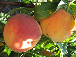Саженцы персика раннего Ред Хавен
