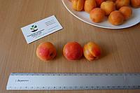 Абрикос ранний (10 штук) семена косточки (для саженцев, насіння для саджанців + инструкция + подарок, фото 1