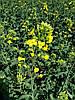 Озимый рапс под Евролайтинг Грим, Зимостойкий гибрид рапса Грим устойчивый к засухе и гербициду Евролайтнинг .