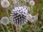 Мордовник синий семена