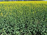Семена озимого рапса Халк. Гибрид рапса урожайный и зимо-морозостойкий Халк., фото 3