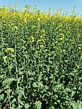 Семена озимого рапса Халк. Гибрид рапса урожайный и зимо-морозостойкий Халк., фото 5