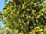 Омела белая лист