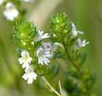 Очанка лекарственная трава