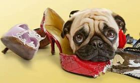 Почему собака грызет вещи и как это прекратить