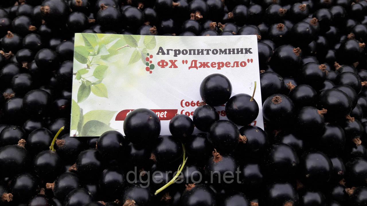Смородина черная Краса Львова (среднепоздний)