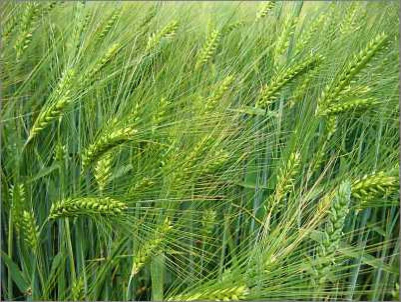 Семена ячменя озимого МАЙБРИТ Германия
