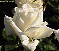 Роза Polarstern® (Полярная звезда), фото 1