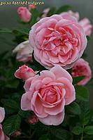 Роза Astrid Lindgren (Астрид Линдгрен), фото 1