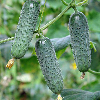 Семена огурца Мадита F1 (250 сем.)