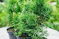 "Саженцы Туя западная ""Смарагд"" (Thuja occidentalis 'Smaragd'). Высота 10-15 см"
