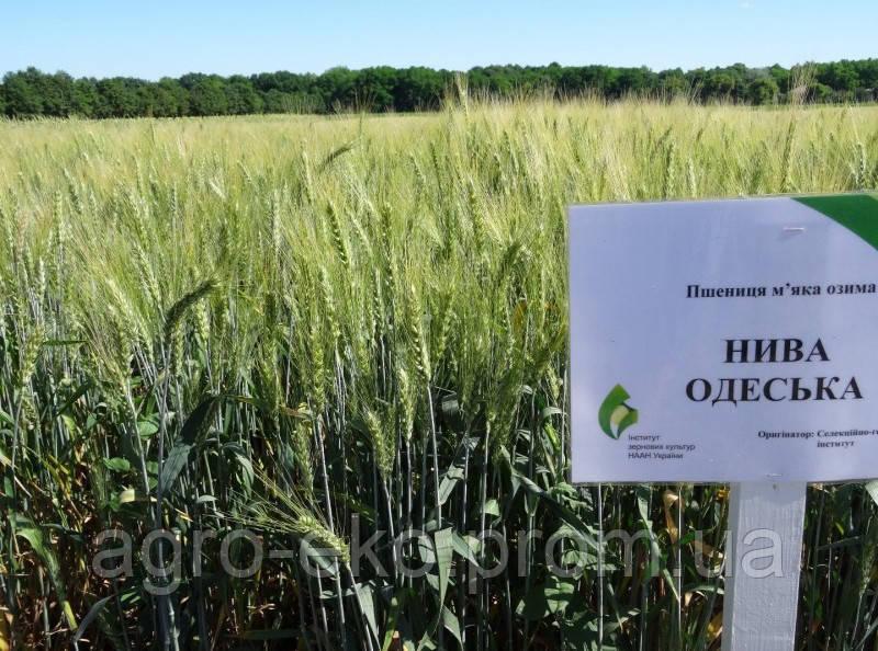 "Пшеница озимая ""Нива Одеська"" - элита Украина"