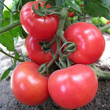 Насіння томату Малинка Стар F1 (500 сем.)