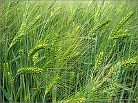 Семена ячменя озимого ТИТУС Германия