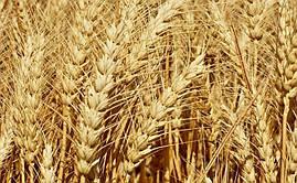 Семена пшеницы Калидо