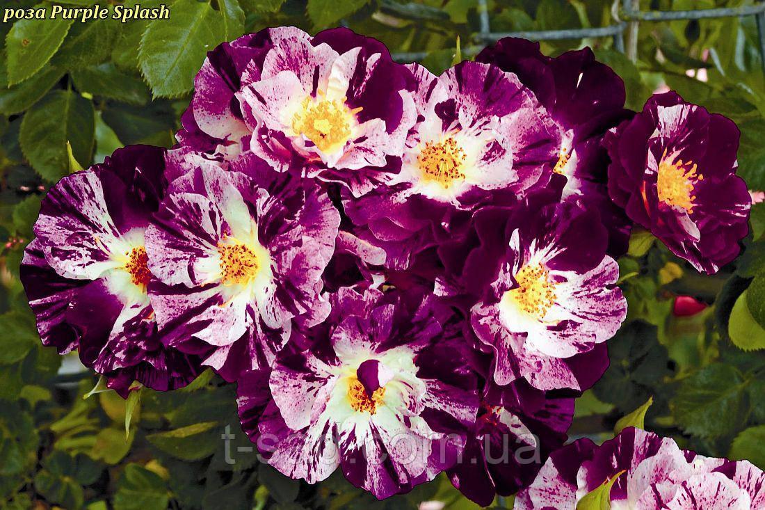 Роза Purple Splash (Пурпл Флэш- Фиолетовый Всплеск)