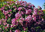 Роза Purple Splash (Пурпл Флэш- Фиолетовый Всплеск), фото 4