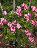 Роза Purple Splash (Пурпл Флэш- Фиолетовый Всплеск), фото 5