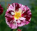 Роза Purple Splash (Пурпл Флэш- Фиолетовый Всплеск), фото 2
