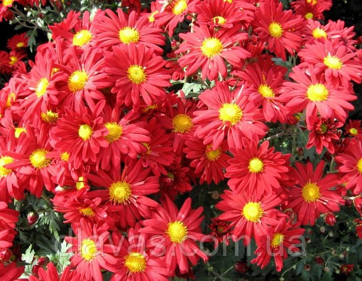 Хризантема корейська червона ромашка